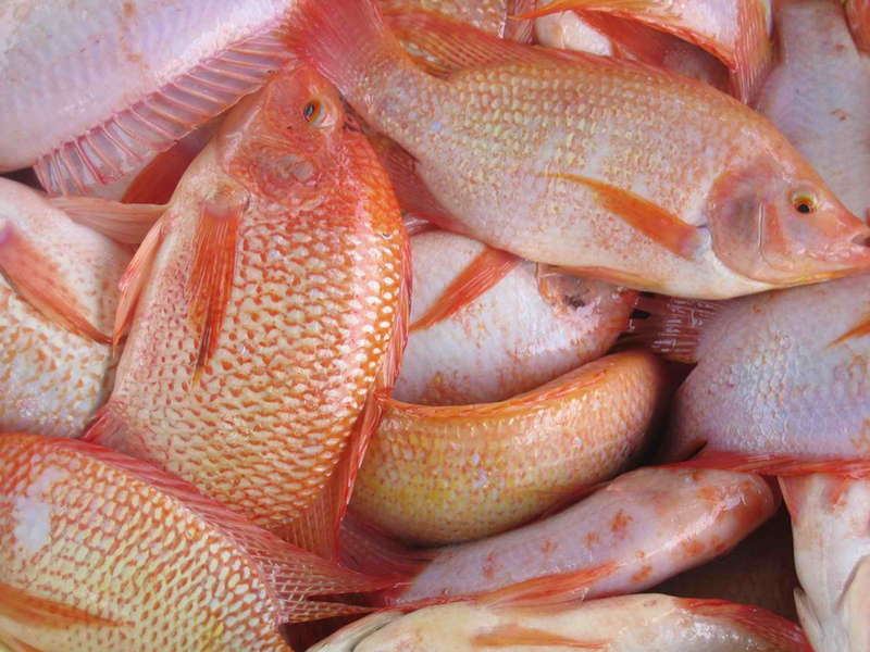 High Blood Pressure (Hypertension): Tilapia